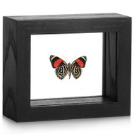 The Mondrian Butterfly - Callicore hesperis (Underside)