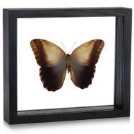 Owl Butterfly - Caligo memnon (Topside)
