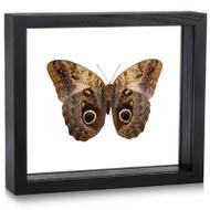 Owl Butterfly - Caligo memnon (Underside)