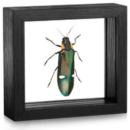 Two-Spot Jewel Beetle - Megaloxantha bicolor