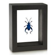 Blue Frog-Legged Beetle - Sagra femorata