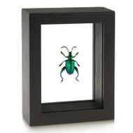 Deep Green Frog-Legged Beetle - Sagra femorata