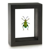Green Frog-Legged Beetle - Sagra femorata
