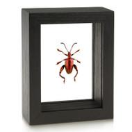 Red Frog-Legged Beetle - Sagra femorata