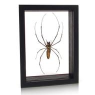 Golden Orb-Web Spider - Nephila clavata