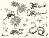 Albertus Seba Print - Vol. 1 Plate 70