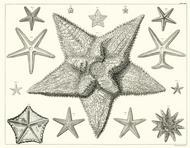 Albertus Seba Print - Vol. 3 Plate 8