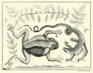 Albertus Seba Print - Vol. 1 Plate 76