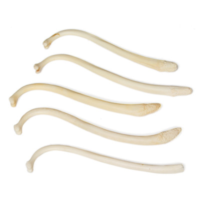 fish-penis-bone