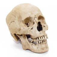 Adult Human Skull - Asian Male