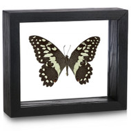 Citrus Butterfly - Papilio demodocus - Topside