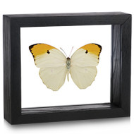 Yellow Brimstone Butterfly - Anteos menippe