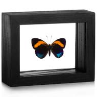 Superb Numberwing - Callicore pastazza - Black Frame