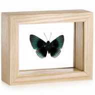Metalmark Butterfly - Lyropteryx appolonia - Natural Frame