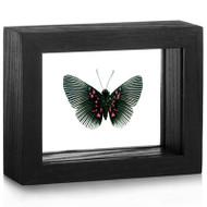 Metalmark Butterfly - Lyropteryx appolonia - Underside - Black Frame