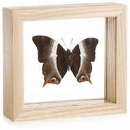 Palla Butterfly - Palla violinitens - Underside - Natural Frame