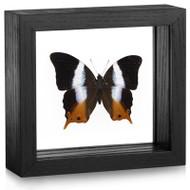 Palla Butterfly - Palla violinitens - Black Frame