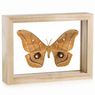 Giant Silk Moth - Antheraea polyphemus - Natural Frame