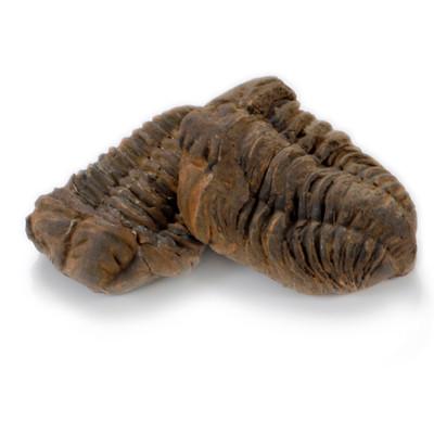 Fossil Trilobite - Thumbnail