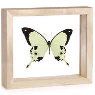 Papilio dardanus - Natural Frame