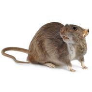 Dark Rat - Rattus norvegicus