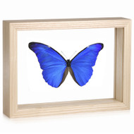 Morpho r. rhetenor - Natural