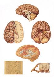 Human Central Nervous System - Poster