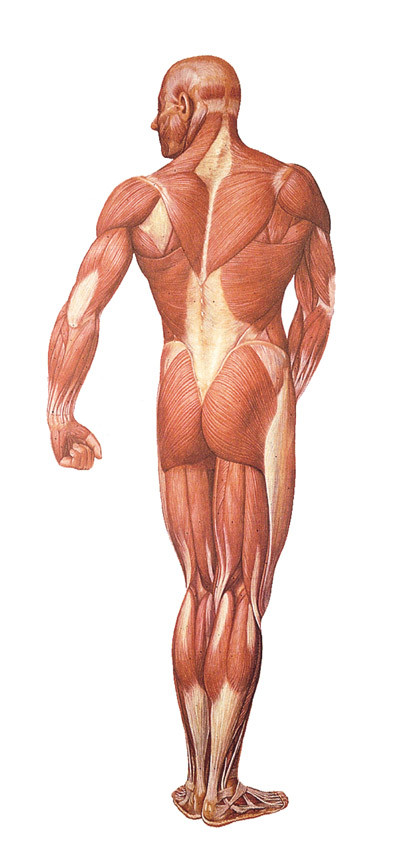 Musculature System Back Evolution Store