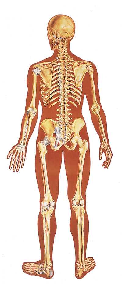 Human Skeleton Poster Rear Evolution Store