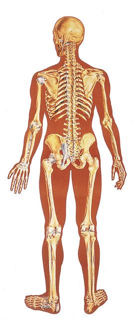 Human Skeleton Poster - Rear