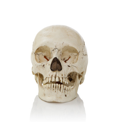 Human and Animal Skulls and Skeletons | Evolution Store