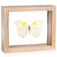 Anteos clorinde (Topside) - Natural Frame