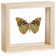 Sasakia charonda (Underside) - Natural Frame