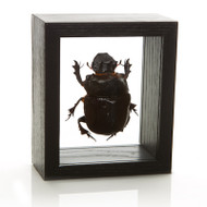 Elephant Dung Beetle - Heliocopris dominus - Male - Black Finish