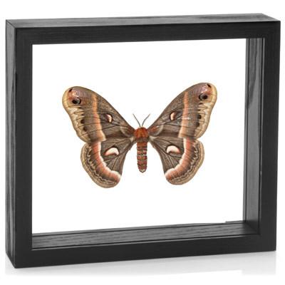 Cecropia Moth - Hyalophora cecropia - Black Finish