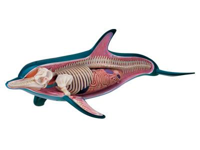 Anatomical Snap-Together Kit, Dolphin - transparent side