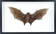 Cynopterus sp. - Fruit Bat frontal