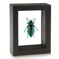 Metallic Blue Wood-boring Beetle - Framed Black Finish