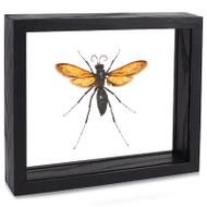 Tarantula Hawk Wasp - Pepsis thisbe
