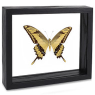 The King Swallowtail Butterfly - Papilio thoas (Underside) Black Finish