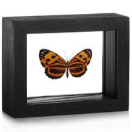 Metalmark Butterfly - Stalachtis calliope black finish