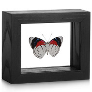 Brush-footed Butterfly - Perisama euriclea (Underside)