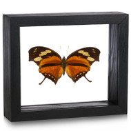 Tiger Leaf wing Butterfly- Consul fabius (Topside) - Black frame