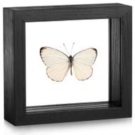 Splendid Butterfly - Delias splendida (Topside) - Black Framed