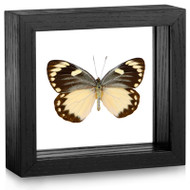 Yellow Jezebel Butterfly - Delias oraia oraia - Female (Topside) - Black framed