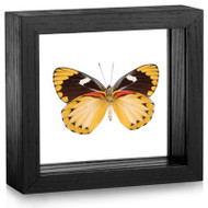 Yellow Jezebel Butterfly - Delias oraia oraia - Female (Underside) - Black Framed