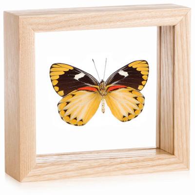 Yellow Jezebel Butterfly - Delias oraia oraia - Female (Underside) - Natural Framed