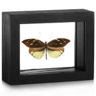 Crisia Mimic-White Butterfly - Dismorphia nemesis - Black Framed