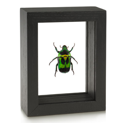 Flower Beetle - Heterorrhina macleayi - Black Framed