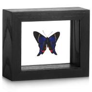 Metalmark Butterfly - Rhetus periander - Black Framed